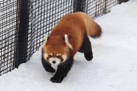 もっと円実ちゃんのとある冬の一日・その1 - レッサーパンダ☆もふてく放浪記