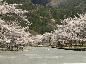 コロナ渦のサクラ - motorrad kyoto staff blog