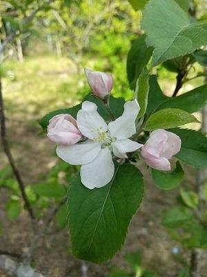 りんごの花 - えっちゃんの絵手紙日記