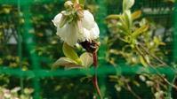 2021 鉢植えブルーベリーの開花とクロマルハナバチ in 広島市 - 初めてのブルーベリー栽培記