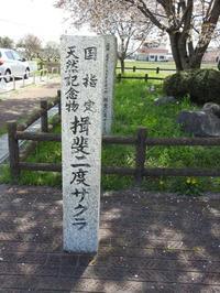 『国指定天然記念物の揖斐二度桜』 - 自然風の自然風だより