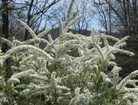 春の、庭 - Que Sera *Sera