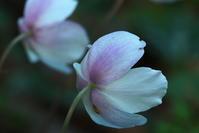 イチリンソウの背中 - ジージーライダーの自然彩彩