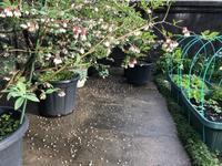 雨上がりの野菜や花 - 島暮らしのケセラセラ