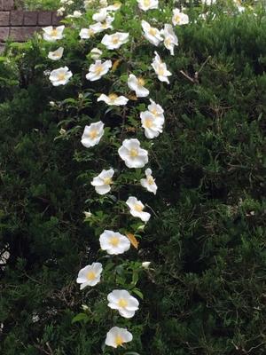 日本古来の薔薇 -