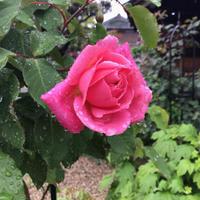 雨に強そうなペチュニアの事と今咲いているバラ - バラやらナンやら