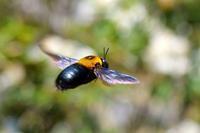 藤の季節はクマバチ撮りの大チャンスだよ♪今日はお尻ショット全開♪(^^; - 『私のデジタル写真眼』