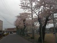 2021、見前中学校の桜 - 日頃の思いと生理学・病理学的考察