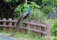 インドクジャクは先島諸島に定着している - THE LIFE OF BIRDS ー 野鳥つれづれ記