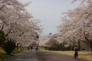 桜満開 -
