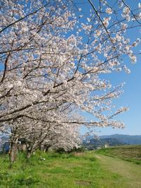 桜2021 - いつかみたソラ