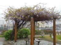 藤の花開花 - Longhill Net Blog