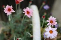 キャベツ生きてた - my small garden~sugar plum~