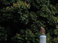 印旛沼北部調整池近辺 2020.4.16(1) - 鳥撮り遊び