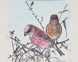 #彩色ペン画 #1970年代の作品「オオマシコのペア」 -
