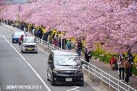 満開の頃  『三浦海岸河津桜 2021』⑳ - 写愛館