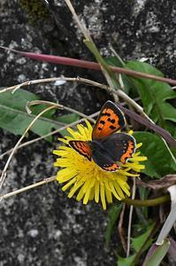 ベニシジミとたんぽぽ - 続・蝶と自然の物語