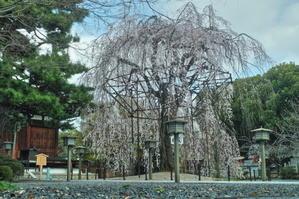 京都 桜 2021 - 写真部