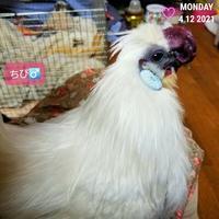 烏骨鶏ちび - 烏骨鶏かわいいブログ