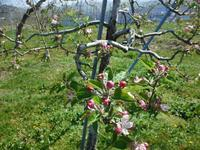 早くもりんごも開花で花粉用の花摘みも、心配なコロナ禍 - 信州ピース&ナチュラルだより