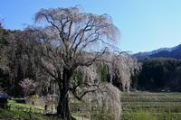 長野そぞろ歩き・高山:花見・枝垂れ桜巡り(3) - 日本庭園的生活