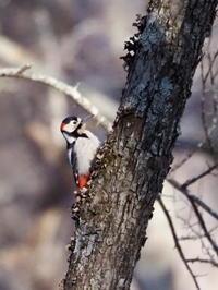 ズミの木に飛来したアカゲラ - コーヒー党の野鳥と自然パート3