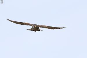向かってくるチョウゲンボウ - 野鳥公園
