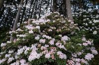 シャクナゲ咲く林で - 風と旅して