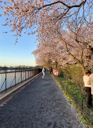 桜もそろそろ終わり時 - ニューヨークでひと息しましょ 2