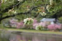 4月17日(土) 桜御衣黄(ギョイコ) - 庄原市上野公園(上野池)とその周辺の出来事