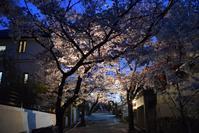 宝塚・寿楽荘の桜トンネル - ブルーアワーの街の情景