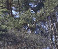 クマタカ:遠いい二羽止まり姿2021 - バード・アイ・ライフ