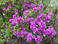 ツツジ - だんご虫の花