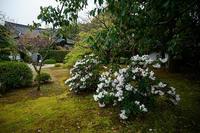 咲き急ぐ花達石楠花&紅花常盤万作@随心院 - デジタルな鍛冶屋の写真歩記