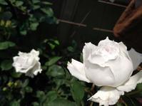 今年のガブリエル1番花! - 美しく香りも素晴らしい薔薇 ガブリエル ベランダ栽培