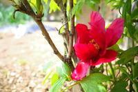 牡丹が咲きました - yoshiのGR散歩