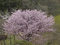 国道284号線の桜 - 日頃の思いと生理学・病理学的考察