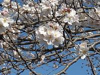 今年の桜 - のんびりタルトパイ日記第2巻