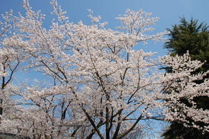 桜満開その2 -