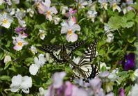 ミドリシジミ幼虫他4月18日 - 超蝶