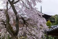 2021桜咲く奈良護念院のしだれ桜 - 花景色-K.W.C. PhotoBlog