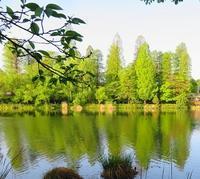 朝散歩眩しいほどの新緑ナンジャモンジャのお花&パセリ(笑) - 風の彩