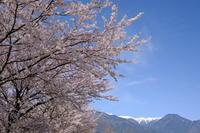桜と残雪のアルプス - 登山ガイド 西村 哉