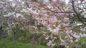 「BHさんさん、おすすめ映画『BAD TRIP』 」+「八重桜~~」4/18(日) - あばばいな~~~。