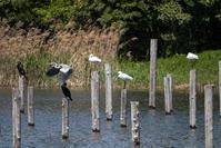 葛西臨海公園クロツラヘラサギとヘラサギ - とりみそ