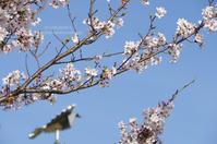 Sun 3 Sunday -公園の桜- - It's only photo 2