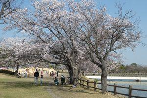 2021年4月19日 乙戸公園の桜 - 圀弘日記