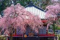 御殿場・東山観音堂の桜 - エーデルワイスPhoto