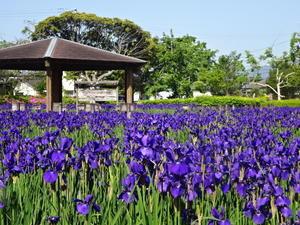 早水公園のアヤメ - 宮崎(都城)からの便り