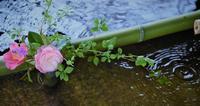 京都桜さんぽ ~真如堂~ - 雲母(KIRA)の舟に乗って